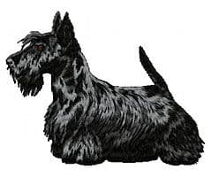 Scottish Terrier 2